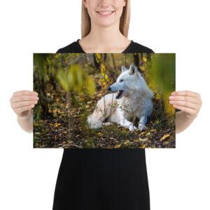 Photo Print – Resting Wolf