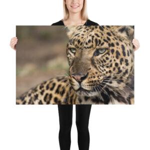 Photo Print – Asian Leopard Focus