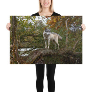 Photo Print – Watchful Wolf in Fall