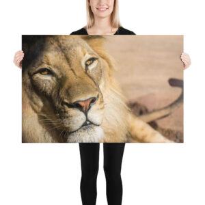 Photo Print – African Lion Bahati