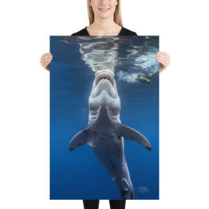 "Photo Print – ""Nelson"", Great White Shark by Sarah C"
